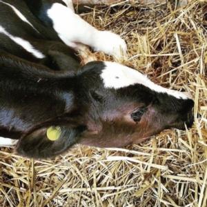 nutreco-redazionale-7-ottimizzare-salute-apparato-respiratorio-vitello