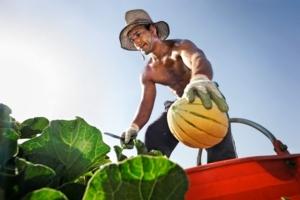 obiettivo-agricoltura-concorso-fotografico-la-raccolta-dei-meloni-vittorio-faggiani