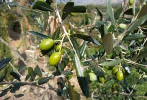 olio-olive-olivo-by-matteo-giusti-agronotizie-jpg