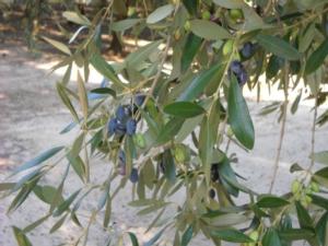 oliva-piante-pianta-olive-fonte-assitol