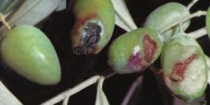 olive-danni-da-mosca-dell'olivo-fonte-intrachem