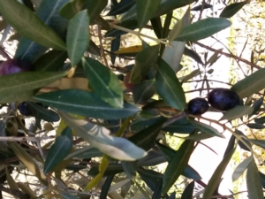 olive-nere-olivo-by-matteo-giusti-agronotizie