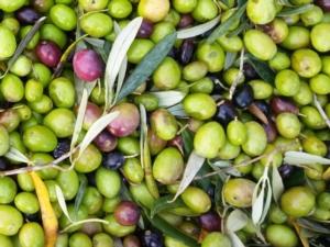 olive-olio-raccolta-by-matteo-giusti-agronotizie-jpg