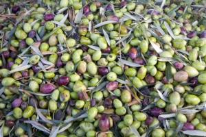 Anche l'olivo parla Biorazionale<sup>®</sup>
