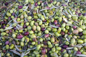olive-olivicoltura-by-agatalagati-fotolia-750
