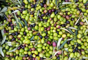 olive-raccolta-by-matteo-giusti-agronotizie-jpg