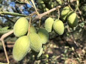 oliveavvizzitesiccita23ottobre2019ciapuglia