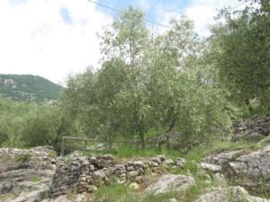 oliveti-trentino-fonte-foto-fondazione-mach