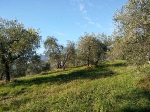 oliveto-collina-by-matteo-giusti-agronotizie