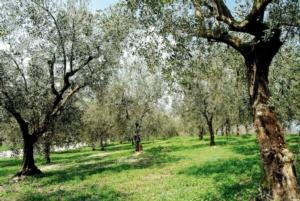 olivi-olio-fonte-consorzio-olio-garda-dop