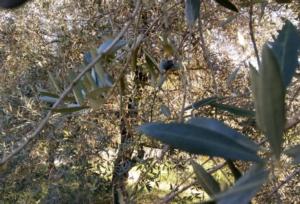 olivi-oliveto-750-by-matteo-giusti-agronotizie