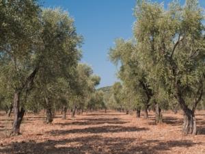 Xylella, olivicoltura: quanto rende la Favolosa in intensivo - Plantgest news sulle varietà di piante