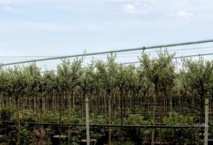 olivi-vivaio-olivo-olivicoltura-vivaismo-by-matteo-giusti-agronotizie-jpg