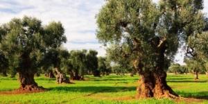 Olio, nutrizione bilanciata per sostenere rese e qualità - Fertilgest News