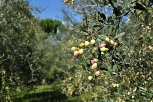 Olivo protetto da patogeni e malerbe