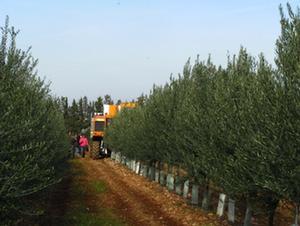 olivicoltura-super-intensiva-olivo-valenzano-2008-by_soihs_it