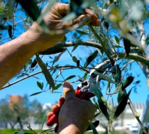 Malattie fungine dell'olivo, in soccorso il portfolio Upl