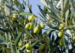 olivo-crpv