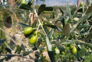 olivo-olive-olivicoltura-by-matteo-giusti-agronotizie-jpg