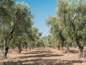 olivo-oliveto-by-enrico-rovelli-fotolia-750