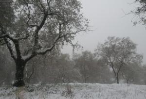 olivo-oliveto-neve-inverno-by-matteo-giusti-agronotizie-jpg