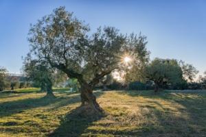 olivo-olivi-ulivi-olivicoltura-by-davidboixo-adobe-stock-750x500