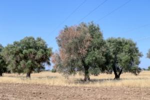 olivo-olivi-ulivi-ulivo-xylella-fastidiosa-by-massimo-todaro-adobe-stock-750x500