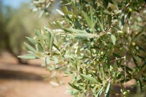 Rame su olivo, importante il trattamento post raccolta