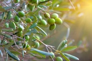 olivo-ramo-ulivo-olive-by-giovanni-cancemi-fotolia-750