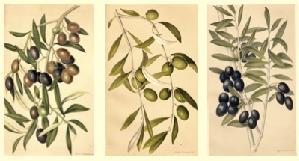 olivo-tavola-olio-seinolta-progetto-cra-oli