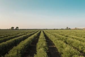 L'olivo superintensivo conviene? L'esperienza di due produttori - Plantgest news sulle varietà di piante