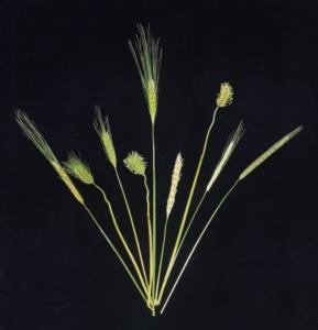 Orzo: la pianta che non ha paura dei cambiamenti climatici - Plantgest news sulle varietà di piante