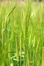 Cereali e soia, mercati in flessione