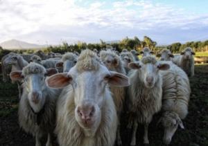 ovini-pecore-gregge-by-alepax-adobe-stock-712x500