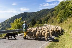 ovini-pecore-transumanza-allevamento-pastore-cane-by-maurizio-sartoretto-adobe-stock-750x500