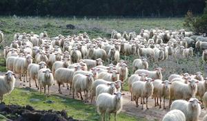 ovini_pecore_razza_sarda