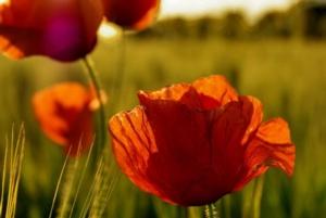 papaveri-grano-frumento-infestanti-tramonto-agronotizie