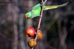 La nuova minaccia alle colture? Pappagalli e minilepri