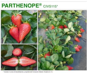 Parthenope<sup>®</sup>, nuova varietà di fragola da Sud del Civ - Plantgest news sulle varietà di piante