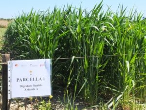 pastazzo-come-concime-per-grano-durodistretto-agrumi-sicilia09ott2015