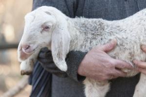 pastore-pastorizia-agnello-pecore-by-spetenfia-fotolia-750