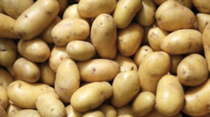 Diablo S e Microlife: la soluzione per la concimazione pre-semina della patata - Fertilgest News