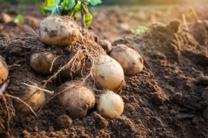 Patata, buone prospettive in Italia - Plantgest news sulle varietà di piante