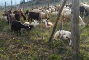 pecore-capre-pascolo-by-matteo-giusti-agronotizie-jpg