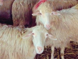 pecore-mastiti-agalassia-fonte-isituto-zooprofilattico-della-sardegna