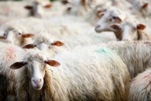 pecore-ovini-al-pascolo-by-alex-pin-adobe-stock-750x500