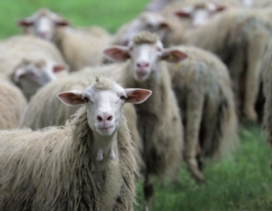 pecore-ovini-azienda-agricola-riservo-allevatori-top-dic-2018