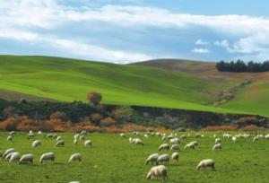 pecore-pascolo-pascoli-ovini-by-consorzio-pecorino-toscano-dop-jpg