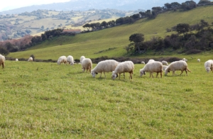 pecore-sardegna-ovini-by-luciano-p-adobe-stock-750x491