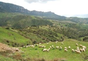 pecore-vicino-lula-21-mag-2020-consorzio-tutela-agnello-di-sardegna-igp